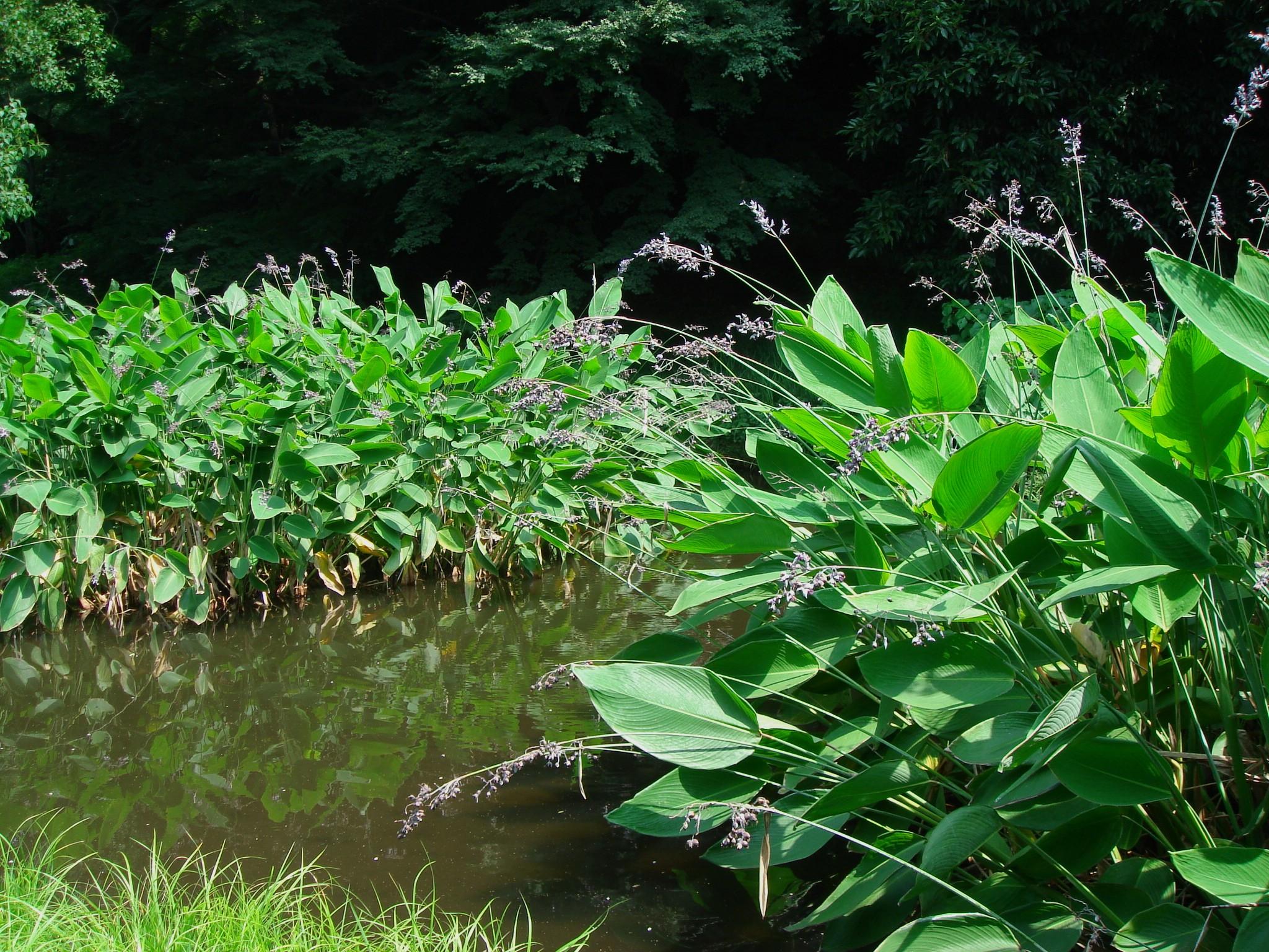 Thalia dealbata fraser ex roscoe for Plantas para estanques de peces